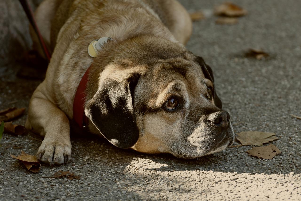 Tudta? Az elhízás a kutyák életét is rövidíti